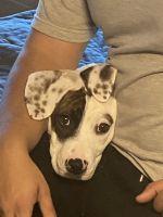 Dalmatian Puppies for sale in Steele Creek, Charlotte, NC, USA. price: NA