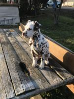Dalmatian Puppies for sale in Akron, OH, USA. price: NA