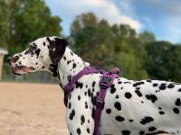 Dalmatian Puppies for sale in Ridgefield Park, NJ, USA. price: NA