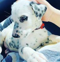 Dalmatian Puppies for sale in El Paso, TX, USA. price: NA