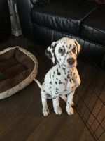 Dalmatian Puppies for sale in Norcross, GA, USA. price: NA