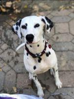 Dalmatian Puppies for sale in Merced, CA, USA. price: NA