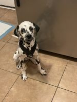 Dalmatian Puppies for sale in Toms River, NJ, USA. price: NA