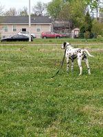 Dalmatian Puppies for sale in Detroit, MI, USA. price: NA