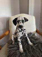 Dalmatian Puppies for sale in Chicago, IL, USA. price: NA