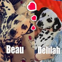 Dalmatian Puppies for sale in Dillsburg, PA 17019, USA. price: NA