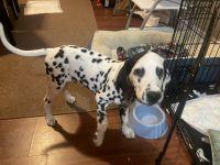 Dalmatian Puppies for sale in Phillipsburg, NJ 08865, USA. price: NA
