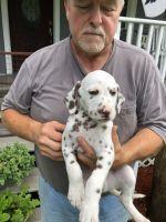 Dalmatian Puppies for sale in Burton, WV 26562, USA. price: NA