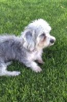 Dandie Dinmont Terrier Puppies for sale in Dietrich, ID 83324, USA. price: NA