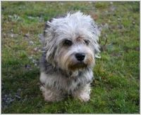 Dandie Dinmont Terrier Puppies for sale in Columbus, MT 59019, USA. price: NA