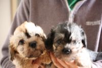 Dandie Dinmont Terrier Puppies for sale in Oklahoma City, OK, USA. price: NA
