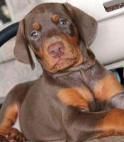 Danish Broholmer Puppies Photos