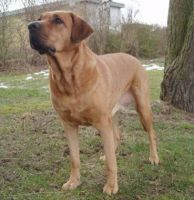 danish broholmer dog