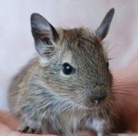 Degu Rodents for sale in Spokane, WA, USA. price: NA