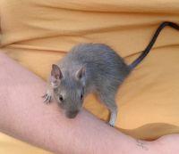 Degu Rodents Photos