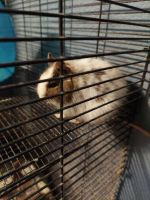 Degu Rodents for sale in Kingsville, TX 78363, USA. price: NA