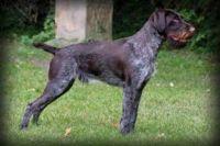 deutsch drahthaar dog
