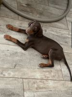 Doberman Pinscher Puppies for sale in Phoenix, AZ 85043, USA. price: NA