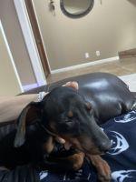 Doberman Pinscher Puppies for sale in Visalia, CA, USA. price: NA