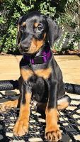 Doberman Pinscher Puppies for sale in Sanford, FL, USA. price: NA