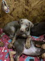 Doberman Pinscher Puppies for sale in Maricopa, AZ 85138, USA. price: NA
