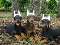 Doberman Pinscher Puppies for sale in Spring Hill, FL, USA. price: NA