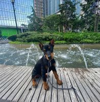 Doberman Pinscher Puppies for sale in New York, NY, USA. price: NA