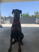 Doberman Pinscher Puppies for sale in Pacoima, Los Angeles, CA, USA. price: NA