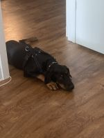 Doberman Pinscher Puppies for sale in S Capitol St SW, Washington, DC, USA. price: NA