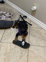 Doberman Pinscher Puppies for sale in Roscoe Blvd, Los Angeles, CA, USA. price: NA