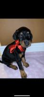 Doberman Pinscher Puppies for sale in Miami, FL, USA. price: NA