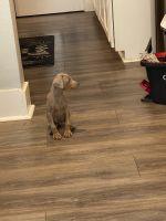 Doberman Pinscher Puppies for sale in San Antonio, TX, USA. price: NA