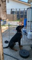 Doberman Pinscher Puppies for sale in Rialto, CA, USA. price: NA