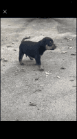 Doberman Pinscher Puppies for sale in Fort Worth, TX 76114, USA. price: NA