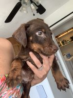Doberman Pinscher Puppies for sale in Horse Cave, KY 42749, USA. price: NA