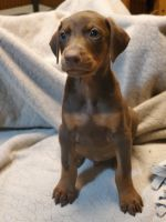 Doberman Pinscher Puppies for sale in Nocona, TX 76255, USA. price: NA