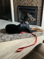 Doberman Pinscher Puppies for sale in Peoria, AZ, USA. price: NA