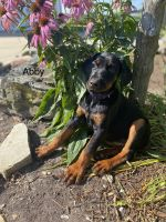 Doberman Pinscher Puppies for sale in Milford, IN 46542, USA. price: NA