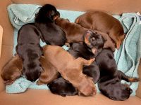 Doberman Pinscher Puppies for sale in Fort Wayne, IN, USA. price: NA