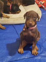 Doberman Pinscher Puppies for sale in Rialto, CA 92376, USA. price: NA
