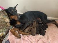 Doberman Pinscher Puppies for sale in Randallstown, MD, USA. price: NA
