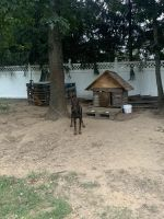 Doberman Pinscher Puppies for sale in Monroe Township, NJ 08831, USA. price: NA