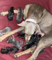 Doberman Pinscher Puppies for sale in Springfield, MA, USA. price: NA