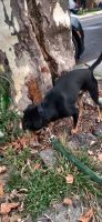 Doberman Pinscher Puppies for sale in Brooklyn, NY, USA. price: NA