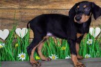 Doberman Pinscher Puppies for sale in Obetz, OH 43207, USA. price: NA