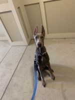 Doberman Pinscher Puppies for sale in Frisco, TX, USA. price: NA