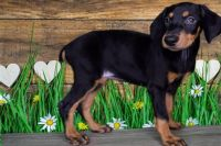 Doberman Pinscher Puppies for sale in LOS ANGLS AFB, CA 90009, USA. price: NA