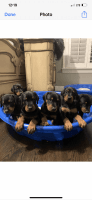 Doberman Pinscher Puppies for sale in Brentwood, TN, USA. price: NA