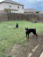 Doberman Pinscher Puppies for sale in Arlington, TX, USA. price: NA