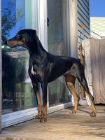 Doberman Pinscher Puppies for sale in Linden, NJ, USA. price: NA